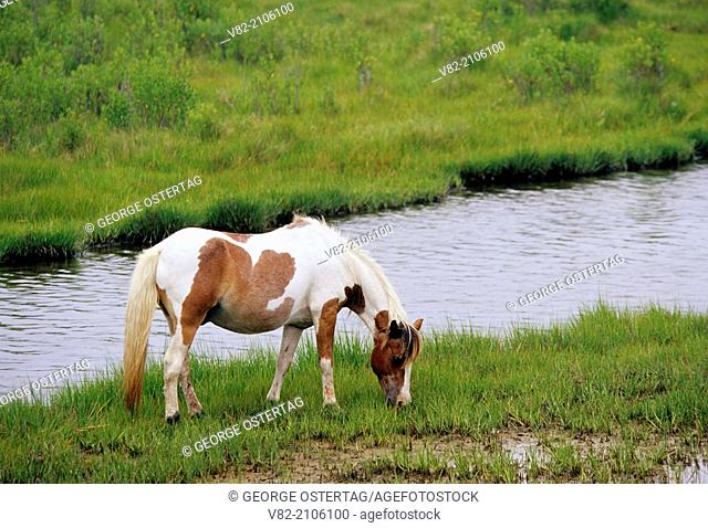 Assateague pony, Assateague Island National Seashore, Maryland