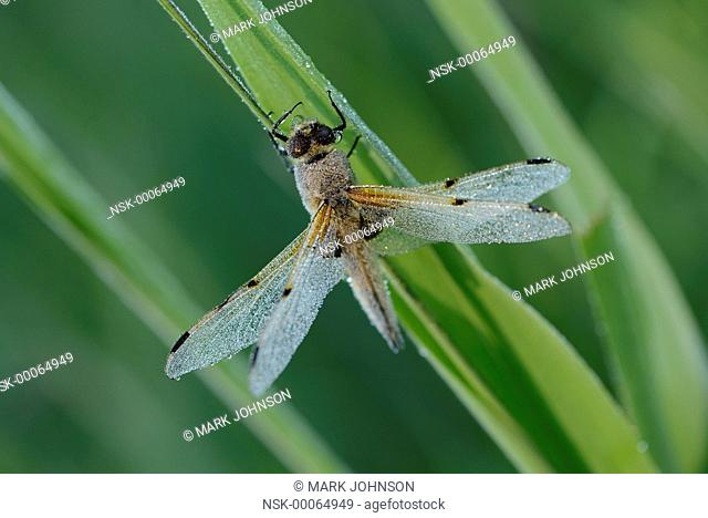 Four-spotted chaser (Libellula quadrimaculata) early morning covered in dew, England, Lincolnshire