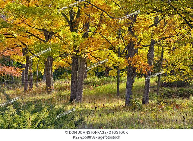 Sugar maple trees in autumn with juniper in the understory, Manitoulin Island, Ontario, Canada