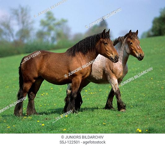 two young Ardennes horses - standing on meadow