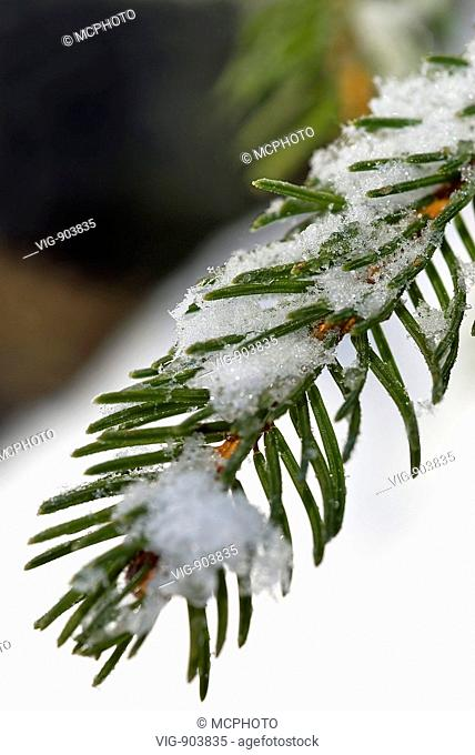 This stock photo shows a close up of a single snow covered pine brunch in a forest in the Swiss Alps. The image was taken on a sunny autumn morning