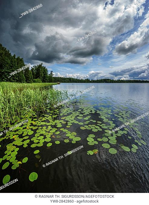 Water lilies, Hogland Island, Finland