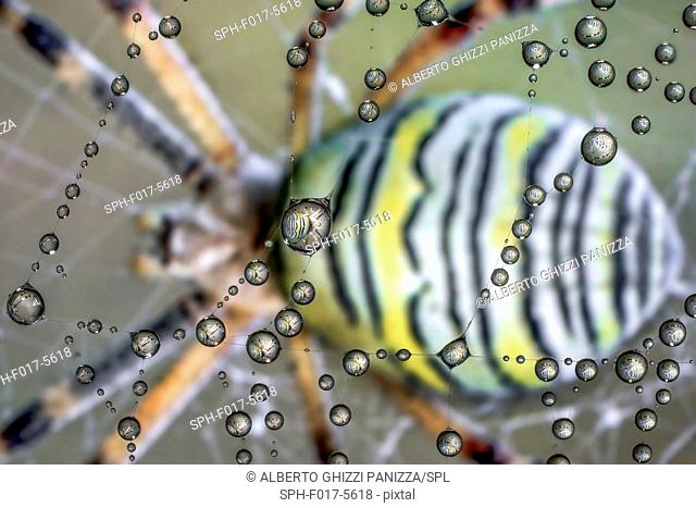 Drops of dew on a spiderweb with an Argiope spider in the background