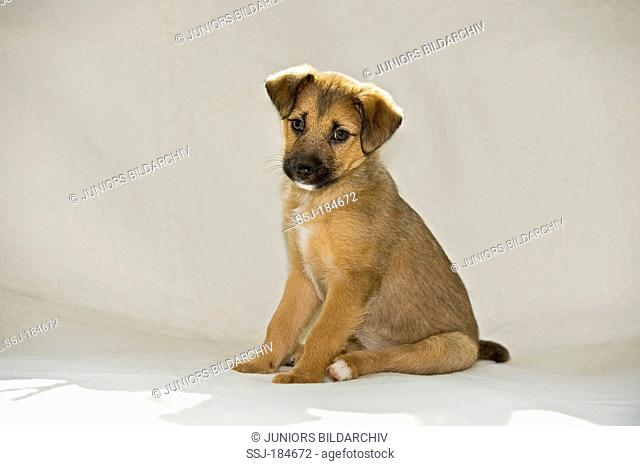 Mixed-breed dog. Puppy (8 weeks old) sitting on a blanket