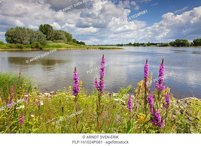 Purple loosestrife (Lythrum salicaria) in flower in the UNESCO Elbe River Landscape biosphere reserve in summer, Lower Saxony, Germany