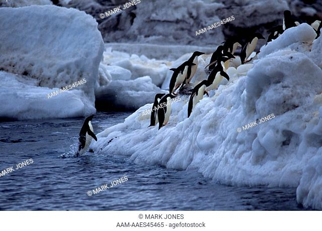 Adelie Penguins (Pygoscelis adeliae) come ashore, Cape Adare, Ross Sea, Antarctia