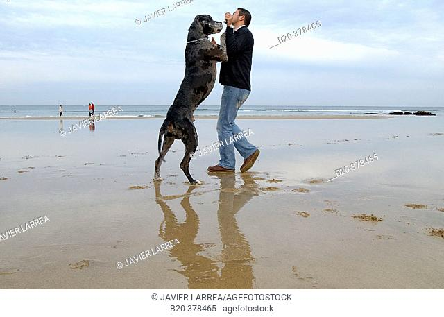 Great Dane dog. Hendaya beach, Aquitanaine. Francia
