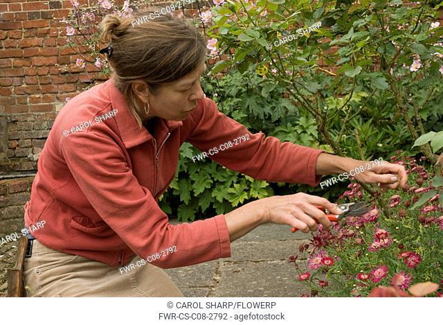 Marguerite, Argyranthemum, Daisy