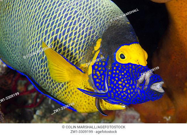 Yellowmask Angelfish (Pomacanthus xanthometopon) extending jaws and gills while being cleaned by Bluestreak Cleaner Wrasse (Labroides dimidiatus)