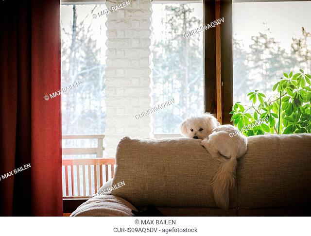 Coton de tulear dog lying on back of sofa