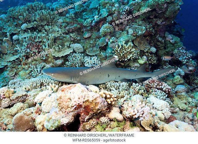 Whitetip Reef Shark, Triaenodon obesus, Osprey Reef, Coral Sea, Australia