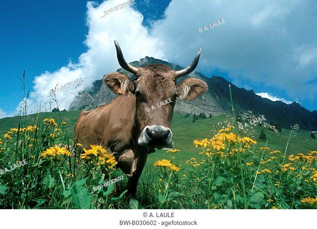 domestic cattle (Bos primigenius f. taurus), portrait, Switzerland, Berner Alpen