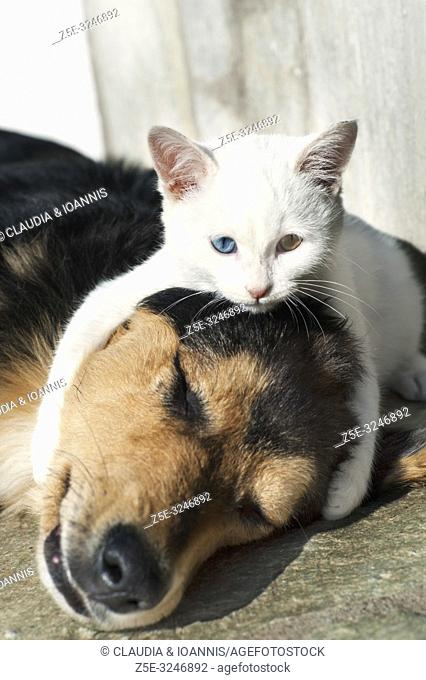 A beautiful white odd eyed kitten lying on a dog and embracing its head
