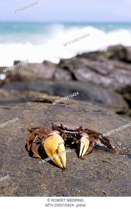 Crab with big claw on rock, Tangalle, South Province, Sri Lanka