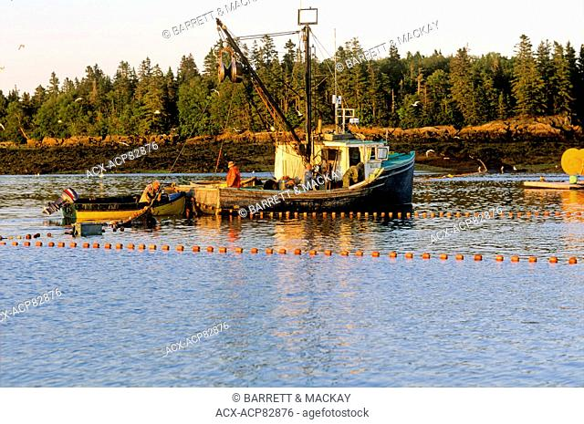 Hauling seining nets full of Herring, Back Bay, Bay of Fundy, New Brunswick, Canada