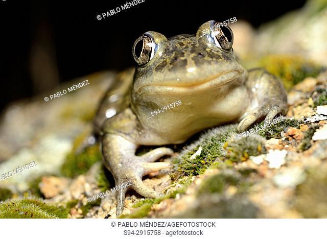 Western spadefoot toad (Pelobates cultripes) in Valdemanco, Madrid, Spain
