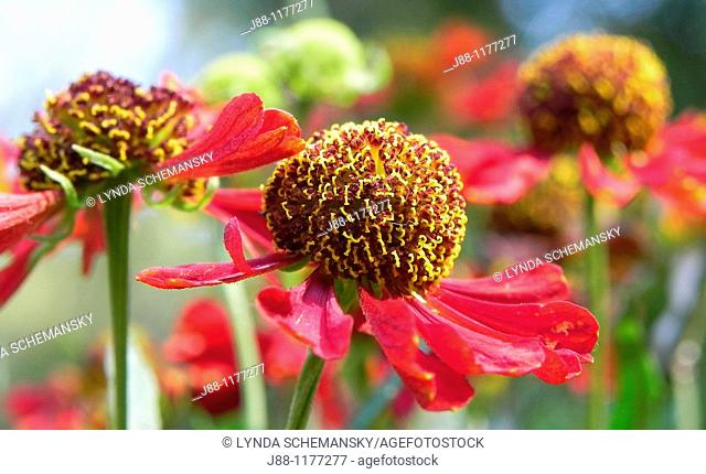 Three red Helenium autumnale flowers