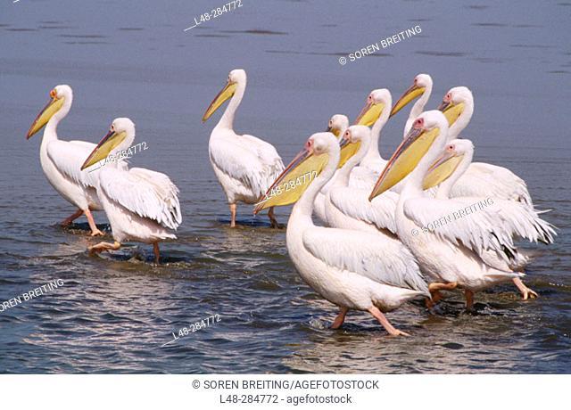 White Pelicans (Pelicanus onocrotalus). Namibia
