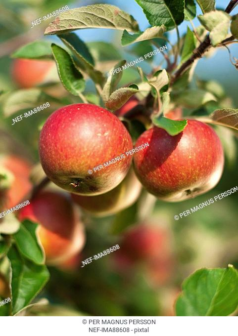 Apples on branch, close-up