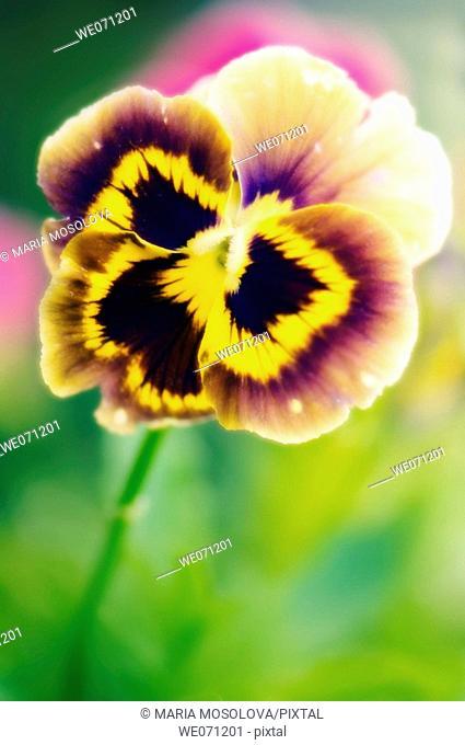 Pansy Flower. Viola x wittrockiana. July 2006, Maryland, USA