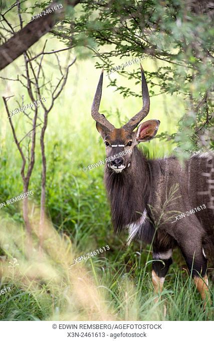 SOUTH AFRICA- Kudu (Tragelaphus strepsiceros) roaming on Dinokeng Game Reserve