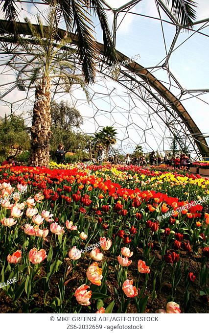Tulips in bloom,The Eden Project, St Austell, Cornwall, UK