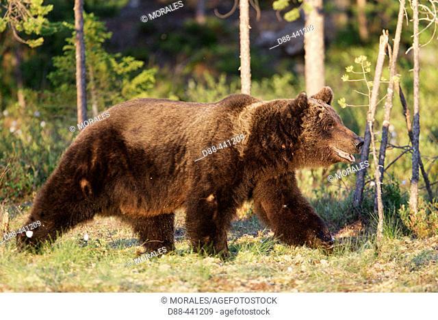 Brown Bear (Ursus arctos). Finland
