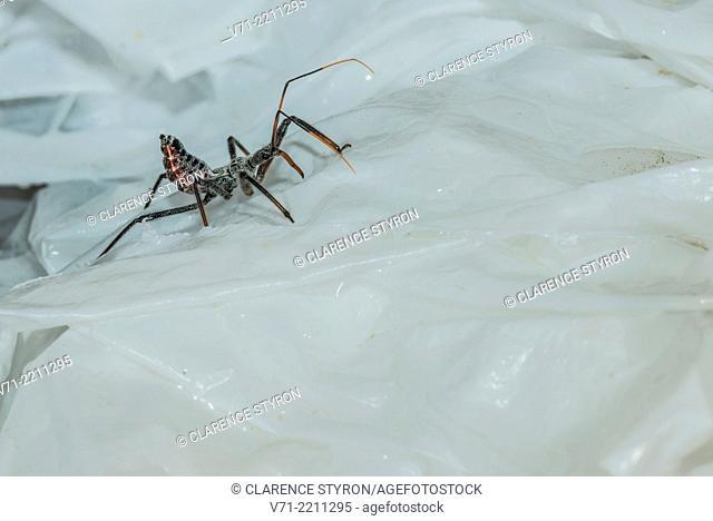 Assassin Bug Arilus cristatus Hunting