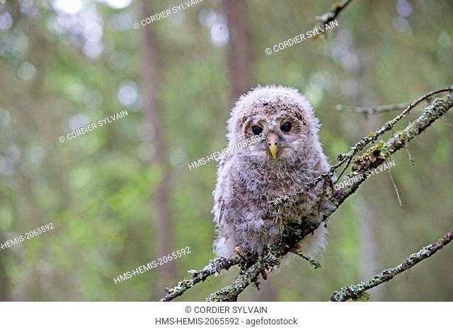 Finland, Kuhmo area, Kajaani, Ural owl (Strix uralensis, young just after he left the nest, perched on a branch