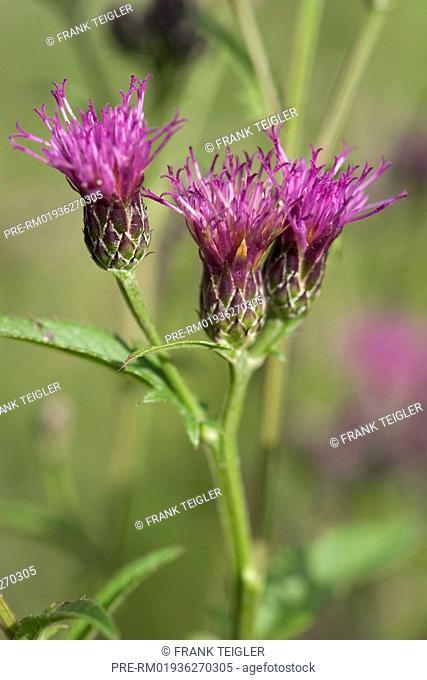 Saw-wort, Serratula tinctoria / Färber-Scharte, Serratula tinctoria