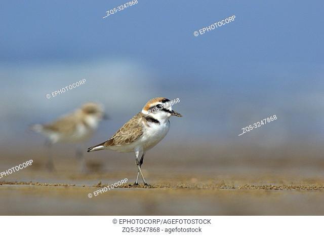 Kentish Plover, Charadrius alexandrinus, Akshi Beach, Alibaug, Maharashtra, India