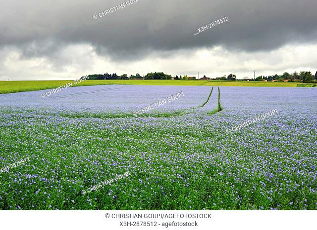 flax field flowering, Centre-Val de Loire region, France, Europe