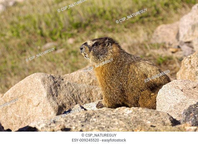 Yellow-bellied Marmot on Rock