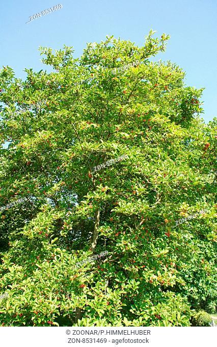Magnolia x loebneri, Magnolie, fruchtend