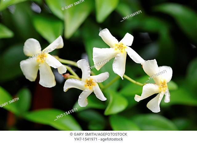 trachelospermum jasminoides, confederate jasmine, star jasmine, in full flower, July