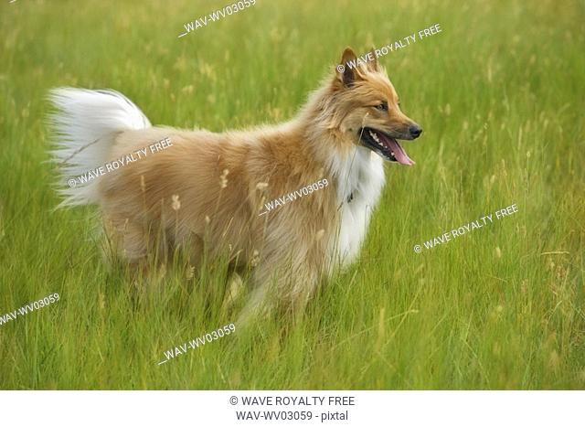 Tan and white, long haired mixed breed dog standing , Canada, Alberta