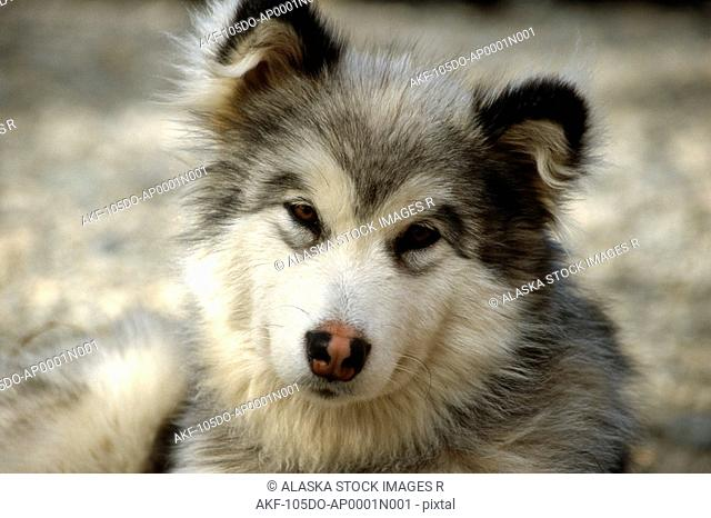 Close up of Husky Puppy @ Denali Backcountry Lodge AK/nFall