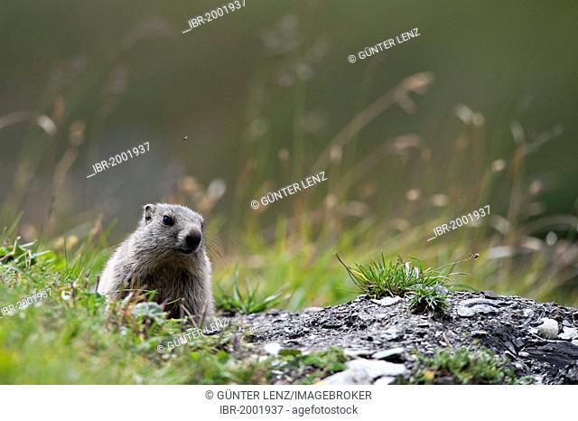 Alpine marmot (Marmota marmota) sitting next to its burrow, Averstal valley, canton of Grisons, Switzerland, Europe