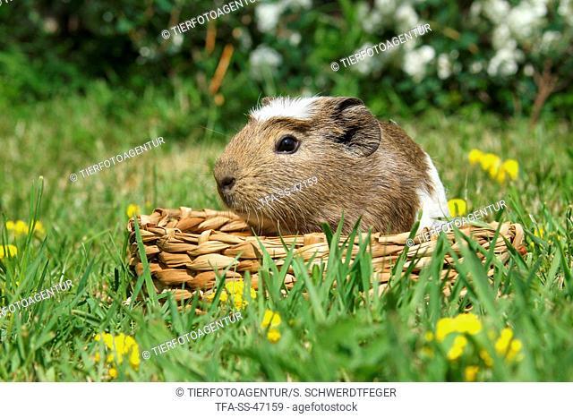 crested guinea pig