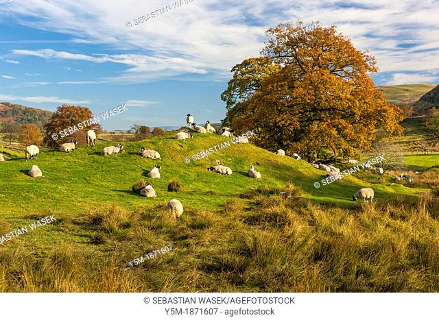 Sheep grazing in the Lake District National Park, Cumbria, England, UK, Europe
