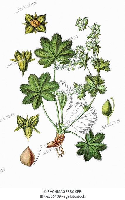 Hairless lady's mantle (Alchemilla fissa), medicinal plant, historical chromolithography, around 1796