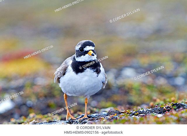 Norway, Svalbard, Spitsbergern, Ny Alesund, Common Ringed Plover or Ringed Plover (Charadrius hiaticula), near the nest