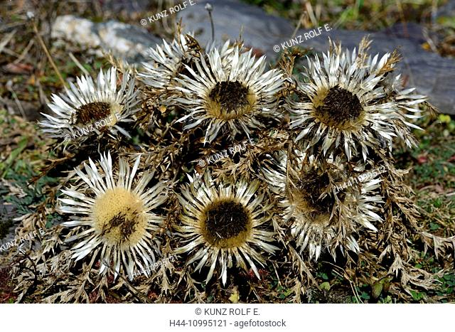 Silver Thistle, Carlina acaulis, Asteraceae, Thistle, blossoms, plant, Alps, Weisstannental, Canton of St. Gall, Switzerland