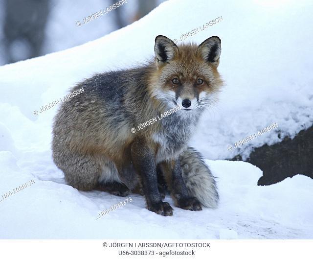 Red Fox in snow. Stockholm, Sweden