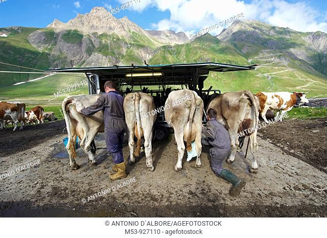 Two young farmers work at the milking station in Alp Bettelmatt  lepontine alps  Verbano Cusio Ossola province  piemonte  italy  europe