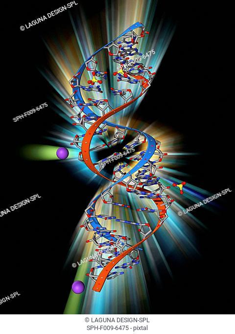 RNA triplet repeat expansion. Molecular model of a CUG triplet repeat expansion in a molecule of double stranded RNA (ribonucleic acid)