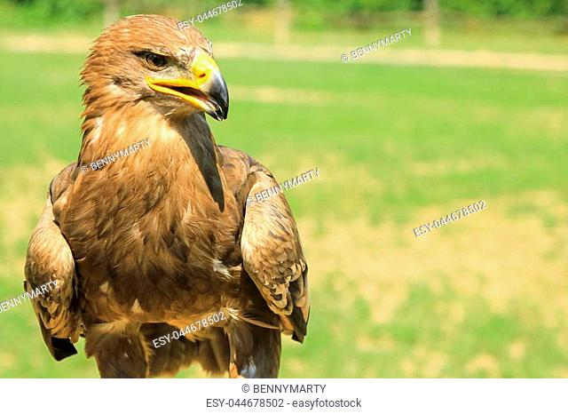 Portrait of Golden Eagle, Aquila chrysaetos, in the wilderness with green park background