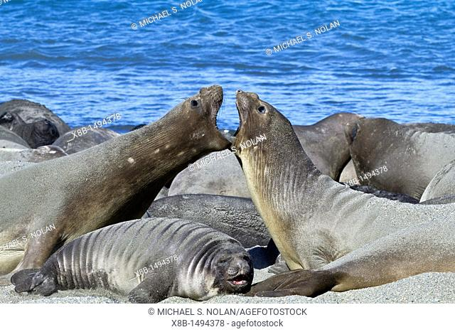 Two female southern elephant seals Mirounga leonina mock fighting on South Georgia Island in the Southern Ocean  MORE INFO The southern elephant seal is not...