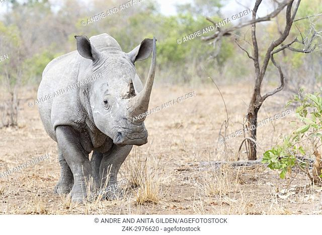 White rhinoceros (Ceratotherium simun) standing on savannah, looking at camera, Kruger National Park, South Africa