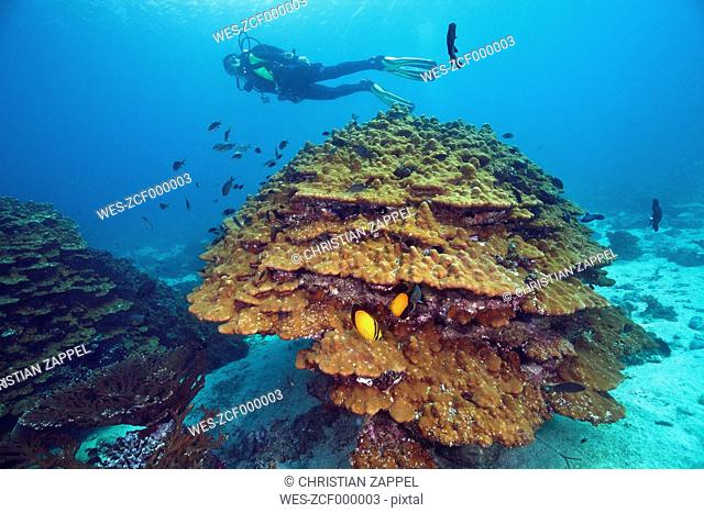Oman, Fahal Island, Gulf of Oman, diver with goniopora coral in front